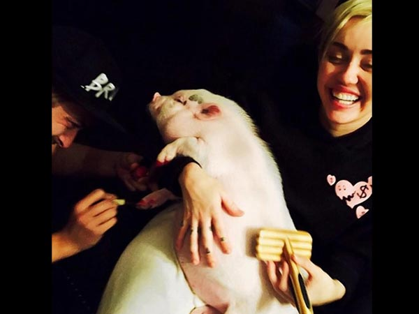 Miley Cyrus Gets Her Pet Pig A Pedicure, Causes Uproar